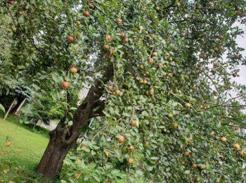 stare tradycyjne drzewo owocowe